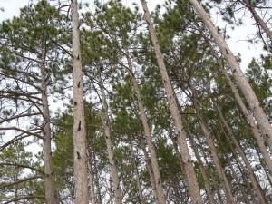 Pine Needles. Spring of 2011. Morton Arboretum.
